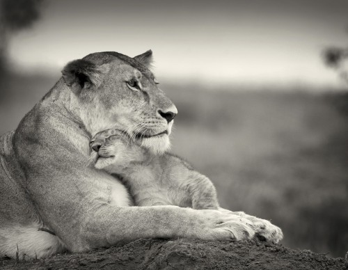 magicalnaturetour:  Lioness with little one by Billy Dodson :)