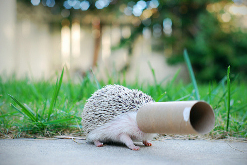 simplesdiretodecoracao:  I love hedgehogs, and I want one :(