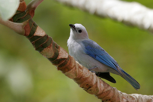 feathersandbeaks:  The Blue-grey Tanager, Thraupis episcopus, is a medium-sized South American songbird of the Tanager family, Thraupidae. Its range is from Mexico south to northeast Bolivia and northern Brazil, all of the Amazon Basin, except the very south. It has been introduced to Lima(Peru). On Trinidad and Tobago, this bird is called Blue Jean.* (*Wikipedia.org)