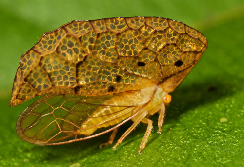 "TREEHOPPER mimicking a dead leaf or old insect casingOeda inflata©Paul Bertner There are about 3,200 known species of treehoppers in over 600 genera. They are found on all continents except Antarctica, although there are only three species in Europe.This one is from Kurupukari crossing, Guyana. They are best known for their enlarged and ornate pronotum, which most often resembles thorns, apparently to aid camouflage.  But in some species, the pronotum grows to an extension even more bizarre like the desiccated leaf shape pictured above. Treehoppers (and their cousins Planthoppers and Leafhoppers), due to their unusual appearance, have long interested naturalists.  There is no way to tell the male and females apart other than looking  at the male genitalia. Individual treehoppers usually live for only a  few months, but they belong to a lineage that is at least 40 million  years old. A team from the Institute of Developmental Biology of  Marseille-Luminy in 2011 provide good evidence that the  helmet arises as a pair of appendages, attached to each side of the  dorsal prothorax by an articulation, with muscles and flexible membrane  that allow it to be mobile. Genetic evidence: the same genes are  involved in development of the helmet and the wings. Source: http://en.wikipedia.org/wiki/Treehopper Other posts:I love these hoppers and have posted many odd-looking species in the past. Here are a few of my favorite: Ball Bearer Leaf Hopper Blue Horseshoe-shaped Treehopper Colorful Leafhopper Nymph Cluster of Fulgorid Planthoppers Treehopper with elaborate ""helmet"" Chart of Leafhopper Diversity"