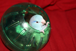 birdinathing:  Bird in a Ball