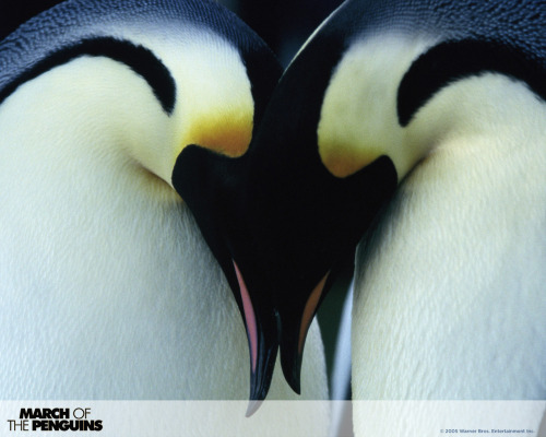 Penguins. magnificent birds<3