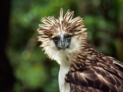 rhamphotheca:  The Philippine Eagle (Pithecophaga jefferyi)   An agitated Philippine eagle raises its head feathers in Mount Apo National Park in the Philippines in an undated picture. The world's second largest eagle is one of several species native to the Philippines forest hot spot (see map). The hot spot is one of the most endangered areas due to extensive logging and farming by some 80 million people dependent on natural resources, according to Conservation International. (via: National Geo)   (image: Neil. L. Retig, Nat. Geo.)