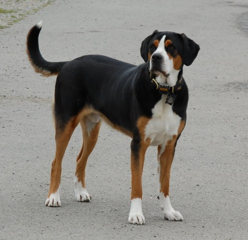 Puppies Greater Swiss Mountain Dog