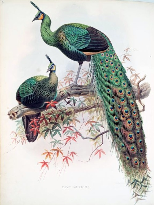 rhamphotheca:  Green Peafowl (Pavo muticus) from A monograph of the Phasianidae, Family of the pheasants, 1872, by Daniel G. Elliot