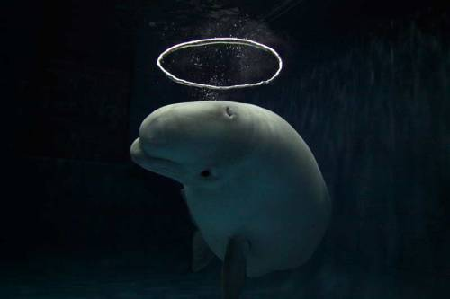 lefigaro-photos:  Saint Béluga - Immergé dans les eaux limpides et glacées de son bassin de l'aquarium géant de Vancouver, au Canada, ce béluga dessine d'étranges auréoles aquatiques en expulsant de drôles de bulles d'air. Ce mammifère, qui vit dans les eaux arctiques et subarctiques, peut atteindre 6m et peser une tonne et demie. On estime sa population à environ 100.000 individus. (Hiroya Minakuchi/Minden Pictures/JH Editorial) Saint Beluga - Submerged in the clear, cold waters of his tank at the giant aquarium in Vancouver, Canada, this beluga designs watery halos by exhaling bubbles of air. This mammal, which lives in artic and sub artic waters, can reach a length of almost 20 ft (6 m) and weigh a ton and a half. The beluga population is estimated to be made up of only about 100,000 animals.