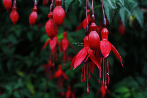 tailormadeart:  Wild Irish Fuchsias on Flickr.