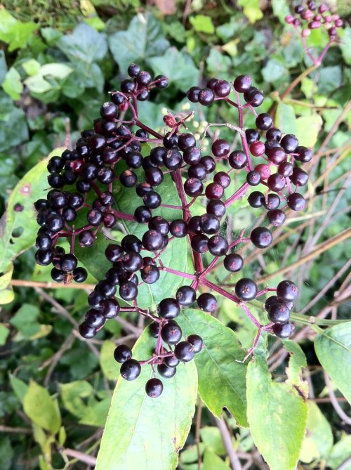 batesnursery:  wildedinburgh:  Elderberries Sambucus nigra - Calton Hill - September 2011  This is what your father smelled of.    this is a favorite, this and ribes nigrum…and Aronia!