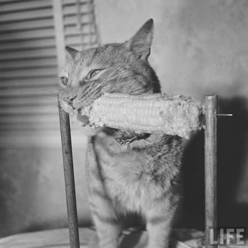 Allan Grant, Cat Eats Corn, 1951. Source: LIFE Photo Archive, hosted by Google.