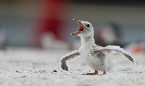 "bottlecup:  Baby Black Skimmer ""I think I can fly"" (Explore) by Photomatt28 on Flickr."