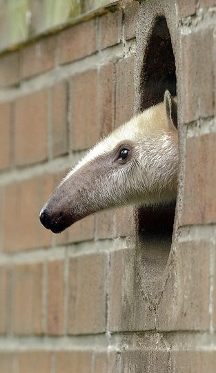 roberto:  livenaturally:  Anteaters are so cute  He discovered Portal apparently  Portal anteater will eat your ants.
