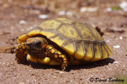 Brazilian Giant Tortoise…  or the yellow footed tortoise  this species of tortoise is found in Bolivia, Brazil, Colombia, Ecuador, French Guiana, Guyana, Peru, Suriname, Trinidad and Tobago, and Venezuela.  This South American tortoise eats many kinds of foliage. They are too slow to capture any fast animals. In the wild, their diet consist of grasses, fallen fruit, carrion, plants, bones, mushrooms, excrement, and slow moving animals such as snails, worms, and others they are able to capture  There is some disagreement as to which habitat is the preferred type for yellow-footed tortoises. Some feel that yellow-foots prefer grasslands and dry forest areas, and that rain-forest habitat is most likely marginal. Others suggest that humid forest is the preferred habitat. Regardless, they are found in drier forest areas, grasslands, and the savanna, or rainforest belts adjoining more open habitats  they yellow foot is an endangered species. The major populations are located in South America, and they are protected under the Convention on International Trade in Endangered Species, (CITES), Appendix II.  As with many species of turtles and tortoises, many yellowfoots end up as food items in local markets.
