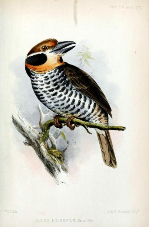 biomedicalephemera:  Bucco tamatia - The Spotted Puffbird One of the less-studied birds of the tropics. It was considered threatened for a time, but is now considered a species of least concern. Proceedings of the Zoological Society of London: Part XXI. 1853.