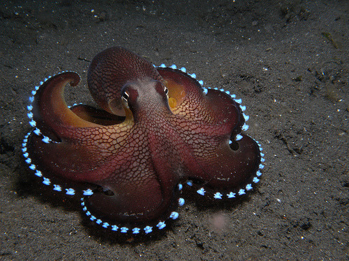 shut-up-nanako:  missbananafish:  mysinmysoul:  Look at that fancy octopus. Where are you going, Fancy Octopus? Are you hitting up the octopus clubs? Can I come with you?   Clubtopus