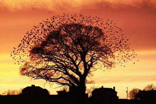 mothernaturenetwork:  A flock of hundreds of European starlings burst out of a tree as the sun sets on the large village of Bayston Hill in Shropshire, England. This image won the BWPA's first-place prize for the Urban Wildlife category.Check out some more of Britain's best nature photography.