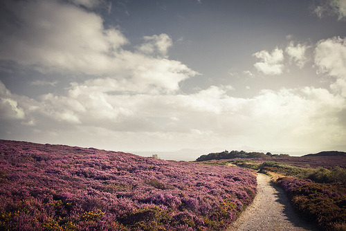 Purple heather outside of Dublin in Howth, Ireland (by AccusedToView)