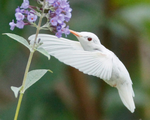 i love hummers deformutilation:  An extremely rare albino ruby-throated hummingbird in Staunton, Virginia. Photo credit: Marlin Shank