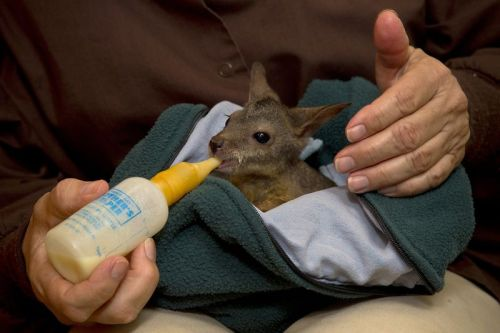 "discoverynews:  Bruised Baby Wallaby Found Kicked Out of Mom's Pouch  The full story remains a mystery, but a parma wallaby joey was found out of her mother's pouch ""dirty, cold, bruised, but alert,"" according to a San Diego Zoo press release, which indicated that the little joey had been rejected by her mother. Human parents sometimes kick their kids out of the house, but the  results may be even more painful when the ""house"" is physically attached  to the parent.  Read more"