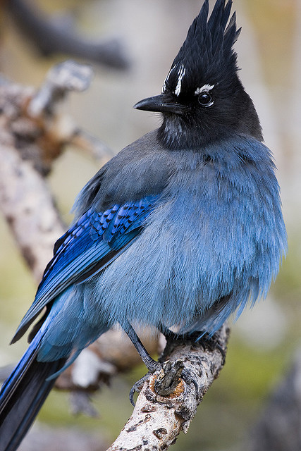 fat-birds:  Steller's Jay by clarkmoody on Flickr.