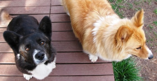 This photo perfectly epitomises their corgi personalities: Bentley - Please, let me please you! I'm oh so obedient! Biscuit - Pfft… No noms, no poses.