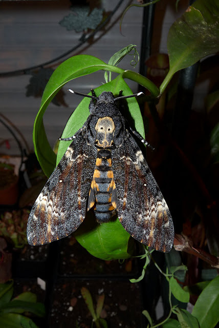 "DEATH'S HEAD HAWKMOTHAcherontia atropos©François Sockhom Mey The moth also has numerous other unusual features. It has the ability to  emit a loud squeak if irritated. The sound is produced by expelling air  from its proboscis.  It often accompanies this sound with flashing its brightly marked  abdomen in a further attempt to deter its predators. It is commonly  observed raiding beehives for honey at night. Unlike the other species of Acherontia, it only attacks colonies of the well-known Western honey bee, Apis mellifera.  It is attacked by guard bees at the entrance, but the thick cuticle and  resistance to venom allow it to enter the hive. It is able to move  about in hives unmolested because it mimics the scent of the bees. The skull pattern has helped the moth earn a negative reputation, such as associations with the supernatural and evil. Numerous superstitions claim that the moth brings bad luck to the house into which it flies: death or grave misfortune. Source: http://en.wikipedia.org/wiki/Acherontia_atropos Other posts: Deathhead Hawk Moth Oleander ""camo"" Hawkmoth Hawkmoth Caterpillar mimicking a snake"