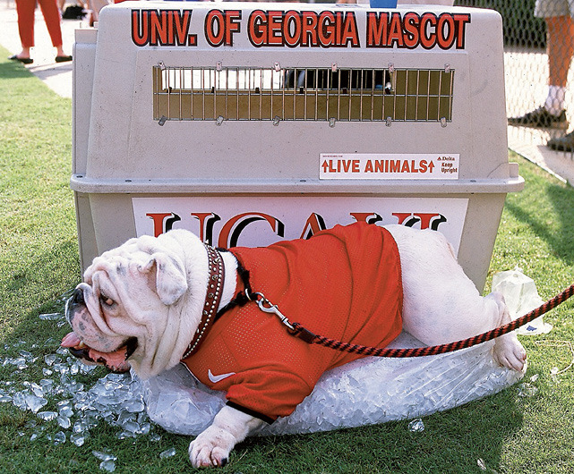 Georgia's beloved Uga VI cools down during a heated 2002 game between Georgia and Alabama. (Gary Bogdon/SI) GALLERY: NCAA's Top Real Action Mascots