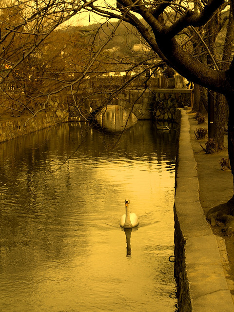 plkearns:  Local Swan enjoying swim in Kurashiki by AnotherSaru on Flickr.