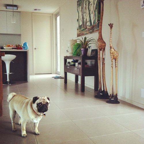 animalstalkinginallcaps:  HEY! YOU'RE HOME! YOU'RE HOME … EARLY. LOOK, DON'T GO ON THE DECK FOR A MINUTE, OKAY? I NEED TO DO SOME CLEANING. I HAD A PARTY. I'M NOT GOING TO LIE TO YOU. LET'S JUST SAY IT LOOKS LIKE AN ARMY OF BEER BOTTLES DEFEATED AN ARMY OF PANTIES, AND THERE WERE SUBSTANTIAL LOSSES ON BOTH SIDES.  JUST SET YOUR BAGS DOWN. I'LL GO GET A BROOM.