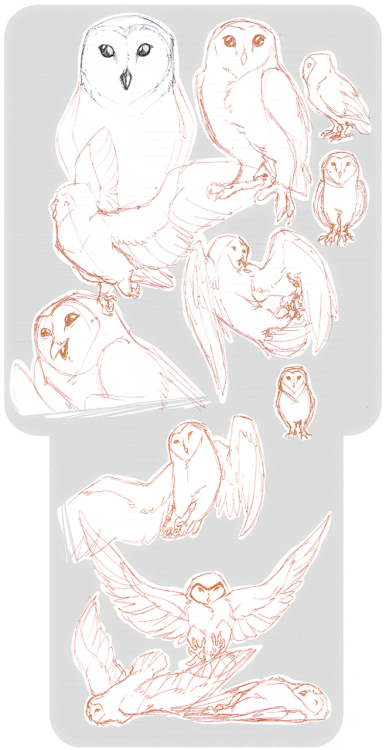 jagzilla:  Tyto alba, love of my life♥A'ight, birds are probably my weakest point in art.  I immensely enjoy drawing them when commissionned, but I don't actually understand them. I have this strange understanding of any other shape and type of anatomy and muscies, but for some reason, the two legs/no arms/prominent chest doesn't compute in my brain. And I don't know why.Did these at work with a red pen on lined paper. GOD THAT PEN WAS BLEEDING ALL OVER THE PLACE IT WAS INFURIATING. GJKHFJKDhjksd -flips tables-  these are gorgeous!