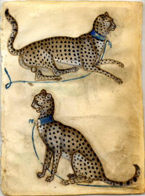 Stunning early 15th Century watercolor of cheetahs. Stun-ning. From The British Museum. via angrywhistler:  Anon. Lombard, Two cheetahs, 1400-10, bodycolour and watercolour on vellum.