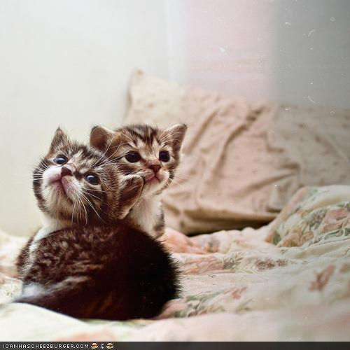 microwalrus:  Cyoot Kittehs of teh Day: Les Chatons Terribles - Lolcats 'n' Funny Pictures of Cats - I Can Has Cheezburger?  AWW! I want to kiss their little faces.