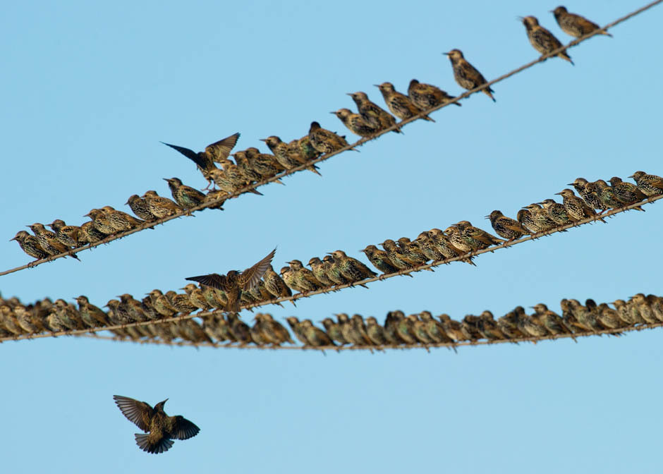 Photos of the dayStarlings sit on power lines on October 6, 2011 in Lebus, eastern Germany. The small passerine birds actually prepare their migration to the South, where they spend the winter season. Patrick Pleuel/AFP/Getty Images