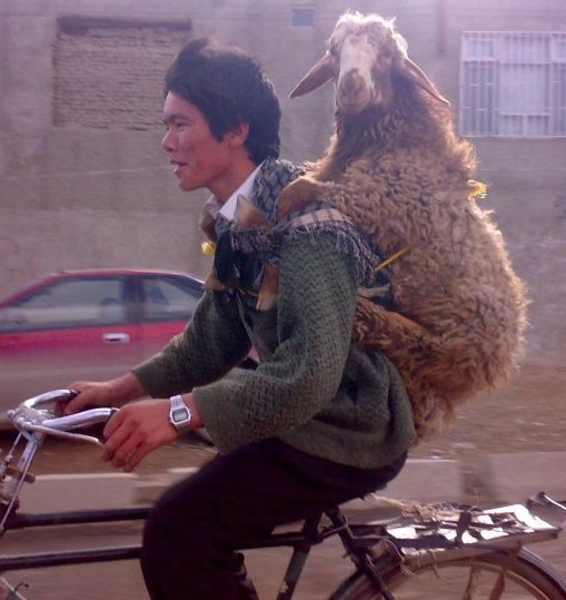 Afghan man caries a goat on his back while riding a bicycle .