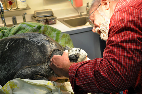 A 72-pound olive ridley sea turtle beached itself in Pacific Grove Wednesday afternoon and is being cared for at the Aquarium until it can be returned to the wild. Likely lured north by warmer-than-usual surface waters, the turtle is being kept behind the scenes in a heated holding pool. It's only the fourth stranded sea turtle rescued by our staff, and the first since 2005!