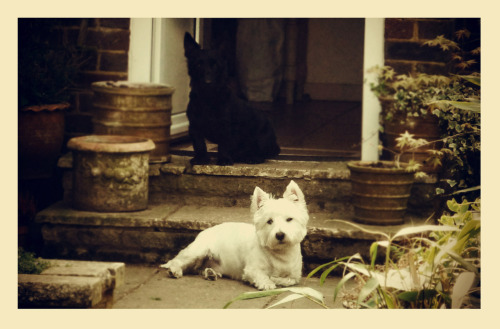 My dogs Scamp (westie) and Jack (scottie, jack russell cross)