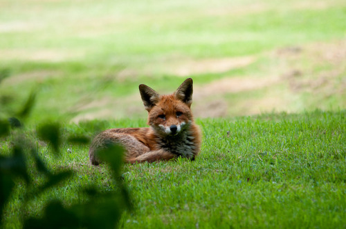 -rvca:  Red Fox Laying Down by Wilfbuck on Flickr.