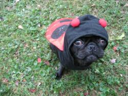 boodapug:  This is Lucy. Last year for Halloween she was a Lady-pug. Photo by @lobela via Twitter.