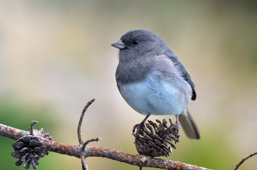 Junco On Pine Cone by Clyde Barrett on Flickr.