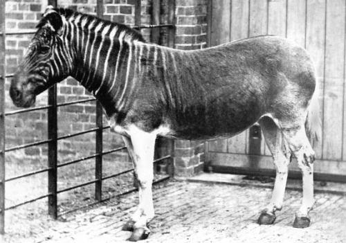 biomedicalephemera:  Quagga Mare - The only photograph of her kind This 1870 photograph is of the quagga mare who resided at the Regent's Park Zoo in London. She died not long after being photographed, and a few years later, the last wild quagga was shot. In 1883 in Amsterdam, the last captive quagga died. Only 100 years after being recognized as a separate species from the other zebras of South Africa, the species was extinct.