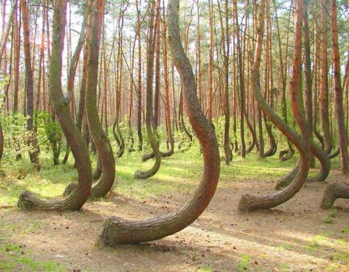 """In a tiny corner of western Poland a forest of about 400 pine trees grow with a 90 degree bend at the base of their trunks - all bent northward. Surrounded by a larger forest of straight growing pine trees this collection of curved trees, or ""Crooked Forest,"" is a mystery."""