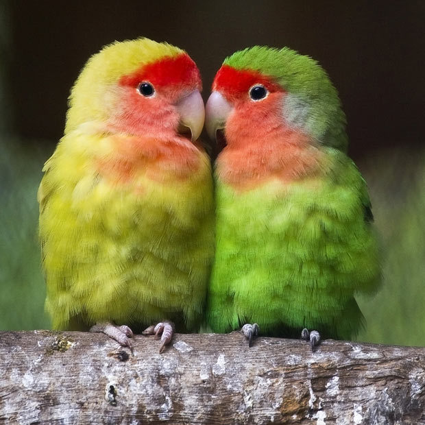 ricray:  A couple of lovebirds (Agapornis Roseicollis) are pictured at the El Nido aviary in Ixtapaluca, near Mexico City.  These look exactly like mine! P.S. All they do is fight
