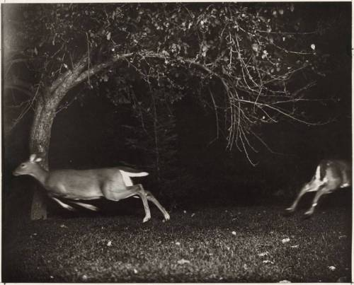 lacalaveracatrina:  Hunting Deer with a Camera, Northern Michigan, 1930