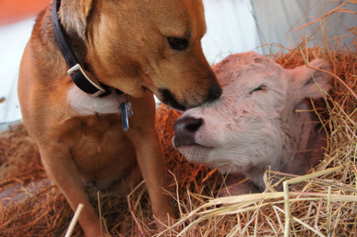 mothernaturenetwork:  A dog named Tracy licks and nuzzles a young calf named Edelweiss on a farm in Troutville, Va., on Oct. 3.MNN's photos of the week