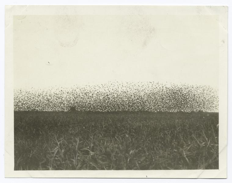 mythologyofblue:  Flocks of redwings and yellowheads over field of milo, Calipatria, California
