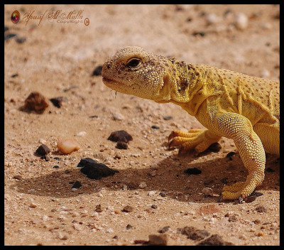 rhamphotheca:  Yemen Spiny-tailed Lizard (Uromastyx yemenensis) The Uromastyx is a genus of lizard whose members are better-known as Spiny-tailed lizards, uromastyxs, mastigures, or dabb lizards. Uromastyx are primarily herbivorous,  but occasionally eat insects, especially when young. They spend most of  their waking hours basking in the sun, hiding in underground chambers  at daytime or when danger appears. They tend to establish themselves in  hilly, rocky areas with good shelter and accessible vegetation… (read more: Wikipedia) (photo: Yousif Al-Mulla)
