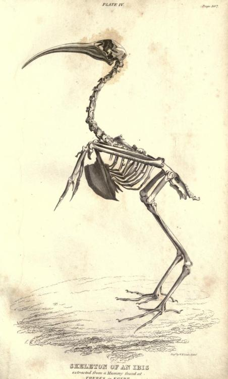 biomedicalephemera:  Skeleton of the Ibis Essay on the Theory of the Earth. Georges Cuvier, 1827.