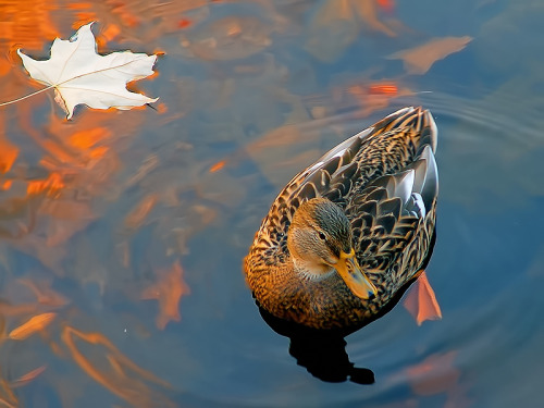 Duck and floating autumn leaf in Mississauga Creek, Ontario - Ziggy Siedleczka @ trek earth