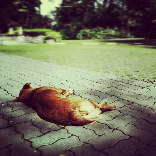 mimd:  Lazy Dog #Thailand #Seaside #Saturday #Dog (Taken with Instagram at บ้านกลางอ่าว รีสอร์ท)