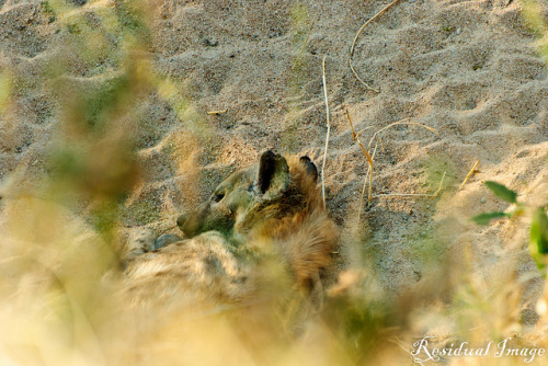 Sleeping hyena on Flickr.Via Flickr: Hyena sleeping in a ditch  Kruger Park, South Africa (August 2011)