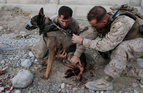 US Marine dog handler Sgt. Mark Behl, left, of  the 3rd Marine Expeditionary Force K9 unit, and another Marine, perform  first aid on US Military working dog Drak, after he was wounded in a  bomb attack, in Sangin, Helmand province. Drak's own handler, Sgt Kenneth A. Fischer, was also wounded in  the bomb attack, which also killed several civilians. Both Fischer and  Drak were flown out of the country for surgery and recovery. Eventually,  in line with military custom, Fischer will adopt Drak and take him  home. September 8th, 2011.